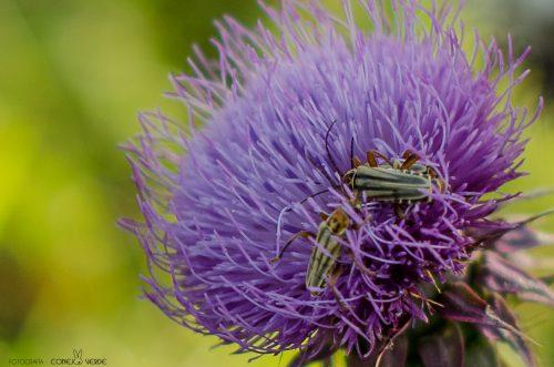 insecto-argentina-1-conejo-verde