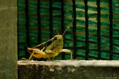 insecto-argentina-6-conejo-verde