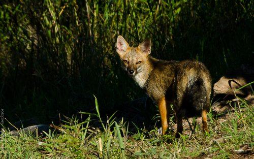 zorro-cordoba-argentina-1-conejo-verde